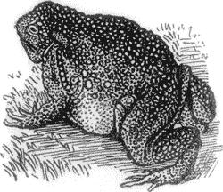 Descubren el fósil de un sapo gigante que incluso pudo comer pequeños dinosaurios