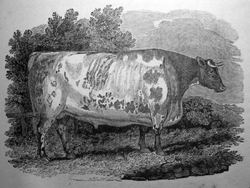 Poner nombre a las vacas aumenta su producción de leche